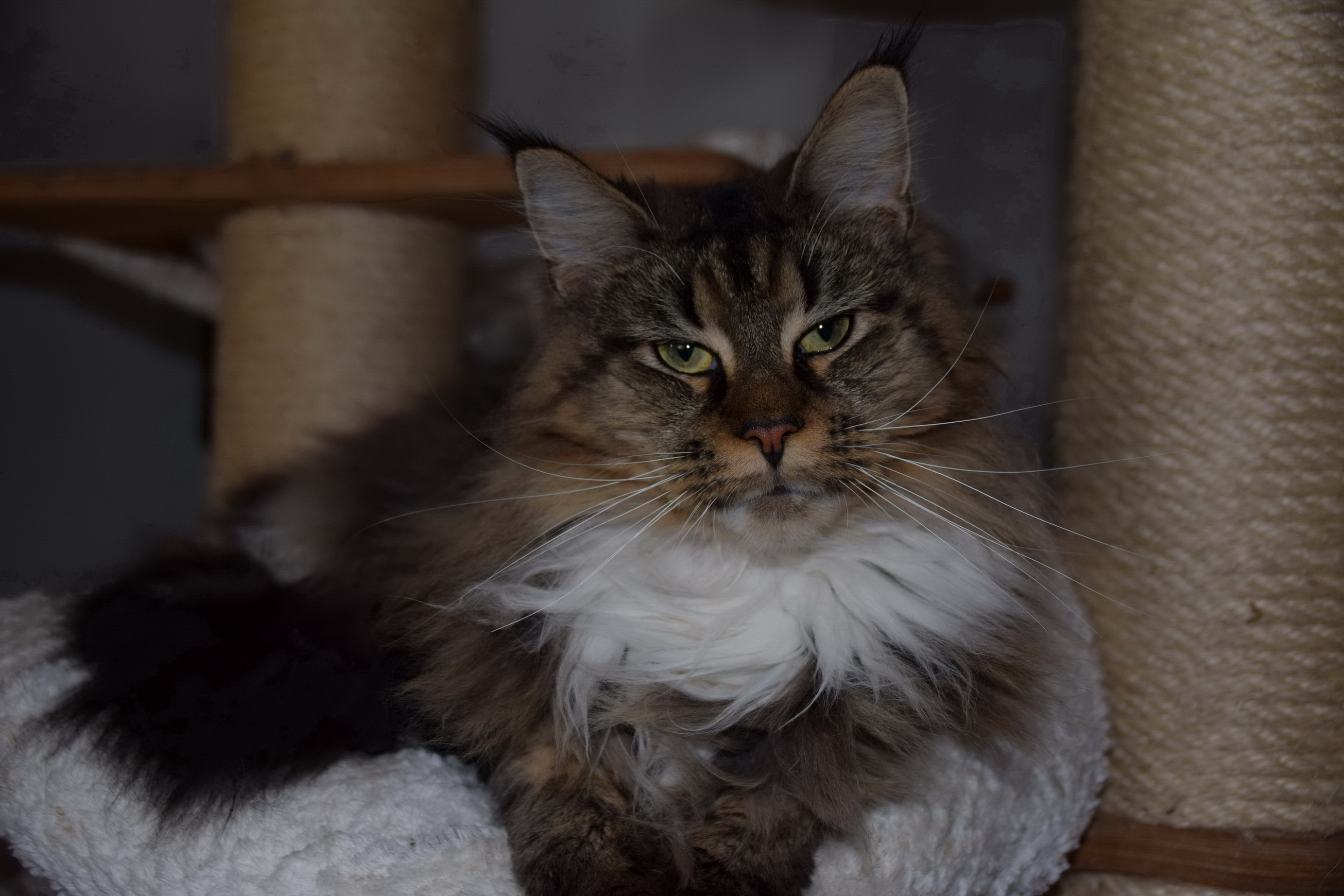 Maine Coon Cats CATchmeCOONS Cattery